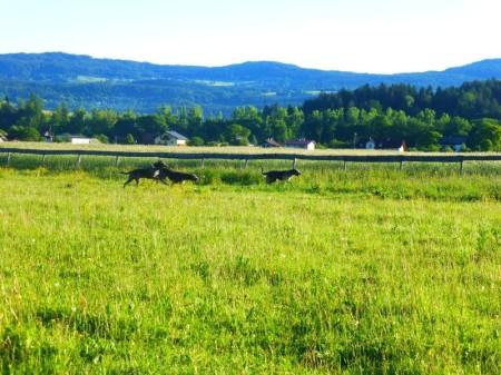 Morgens Auslauf mit den Hunden auf der riesengroßen Koppel