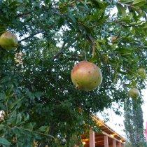 Granatäpfel am Eingang